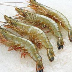 青岛对虾【两公斤】